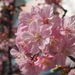 河津桜 3月