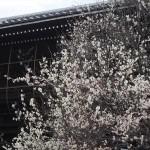 興聖寺の白梅