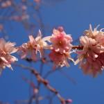 御池桜 3月