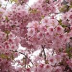 三条大橋 河津桜 3月