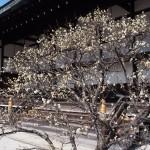 京都御所の白梅