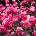 京都御所の紅梅