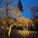 北野天満宮 梅のライトアップ 3月