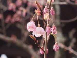 知恩寺 ふじ桜