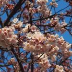 JR桃山駅 寒桜