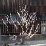 復活したアーモンドの木