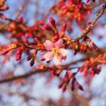 長徳寺 オカメ桜 3月12日