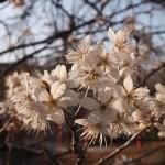 平野神社 桃桜