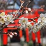 平野神社 桃桜 3月12日