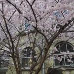 旧成徳中学校 春めき桜