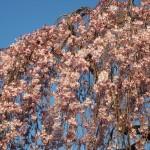 京都御苑 出水の桜 3月13日