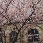 旧成徳中学校 春めき桜 3月