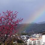 寒緋桜と虹 3月