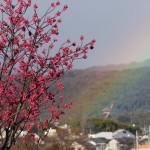 虹とカンヒザクラ