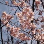知恩寺 ふじ桜 3月