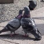 六角堂 ラブラブの鳩
