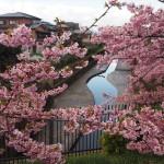淀水路 河津桜 3月