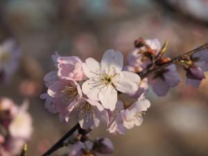 超早咲き桜