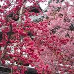オカメ桜とカンヒザクラ