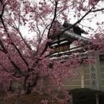 長徳寺のオカメ桜
