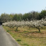 青谷梅林 見頃の梅