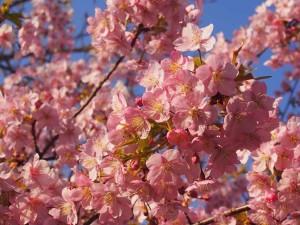 東寺 満開の河津桜