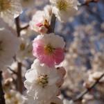 京都御苑 梅 3月