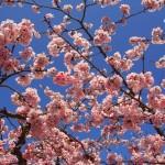 法輪寺 彼岸桜