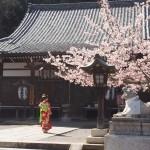 法輪寺 彼岸桜と十三まいり