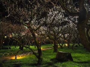 北野天満宮 梅苑のライトアップ