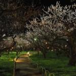 北野天満宮 梅苑ライトアップ 3月
