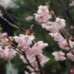 知恩寺 ふじ桜 3月18日