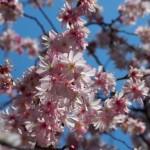御池桜 3月19日