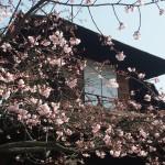渉成園 修善寺桜 3月19日