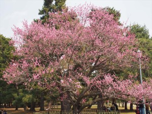 京都御苑 黒木の梅