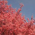 長徳寺 オカメ桜 3月19日