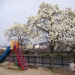 五条児童公園のハクモクレン