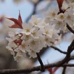 円山公園 山桜 3月20日