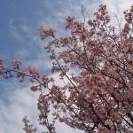 岡崎疏水 西側の桜