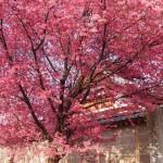 長徳寺 オカメ桜 3月20日
