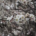 京都御苑 梅林 3月20日