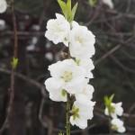 京都御苑 桃林 3月20日