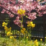 淀水路 菜の花