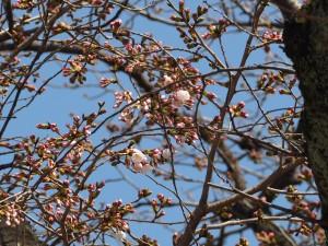 二条城 ソメイヨシノの標本木 3月21日