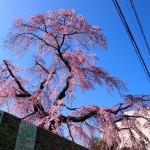 琵琶湖疏水横 3月21日