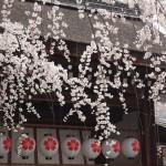 平野神社 3月22日