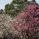 京都御苑 桃林
