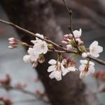 開花し始めたソメイヨシノ 3月23日