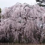 京都御苑 出水の小川向かい 3月23日