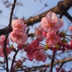 梅小路公園 陽光桜 3月24日